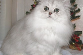 Persian Kitten , 6 Cute Doll Face Persian Cat In Cat Category