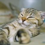 persian kitten , 8 Good Short Haired Persian Cat In Cat Category