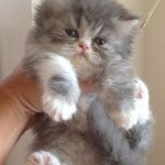 persian kitten , 7 Charming Persian Cat Price Range In Cat Category
