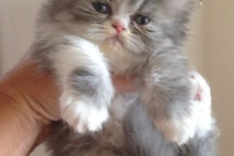 Persian Kitten , 7 Charming Persian Cat Price Range In Cat Category