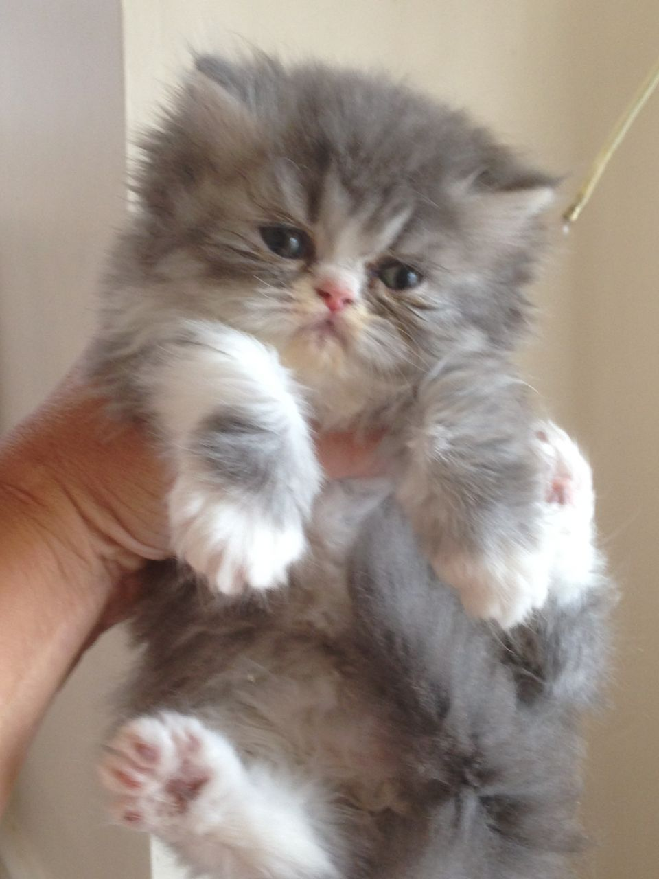 Persian Kitten 7 Charming Persian Cat Price Range