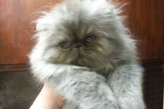 Persian Kittens Smokin , 8 Lovely Persian Cat Breeders In Cat Category