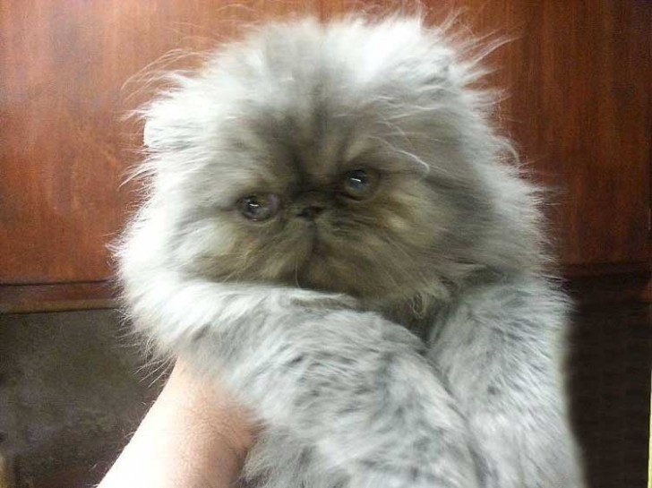 Cat , 8 Lovely Persian Cat Breeders : Persian Kittens Smokin