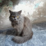 persian kittens , 8 Good Persian Cat Health Problems In Cat Category