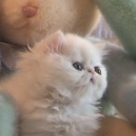 persian kittens , 6 Cute Mini Persian Cats In Cat Category