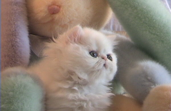 Cat , 6 Cute Mini Persian Cats : Persian Kittens