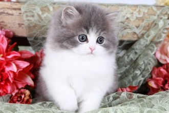 Persian Kittens , 8 Cool Teacup Persian Cat Price In Cat Category