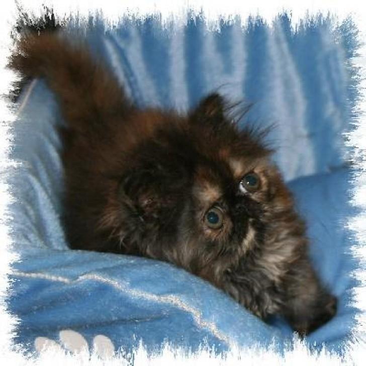 Cat , 8 Lovely Persian Cat Breeders : Persian Kittens