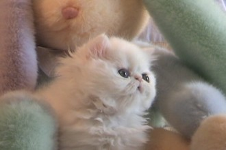 persian kittens in