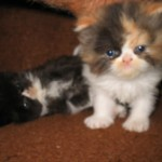 persian kittens , 6 Good Persian Cats San Antonio In Cat Category