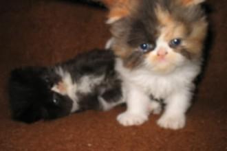 Persian Kittens , 6 Good Persian Cats San Antonio In Cat Category