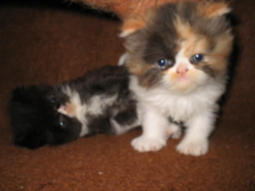 Cat , 6 Good Persian Cats San Antonio : Persian Kittens