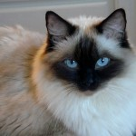 persian ragdoll cat , 8 Charming Persian Cat Facts In Cat Category