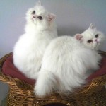 persian rescue gorgeous white cats , 8 Fabulous Persian Cat Rescue Seattle In Cat Category