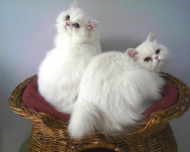 Cat , 8 Fabulous Persian Cat Rescue Seattle : Persian Rescue Gorgeous White Cats