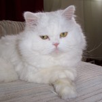 persian , 5 Good Persian Cat Diet In Cat Category