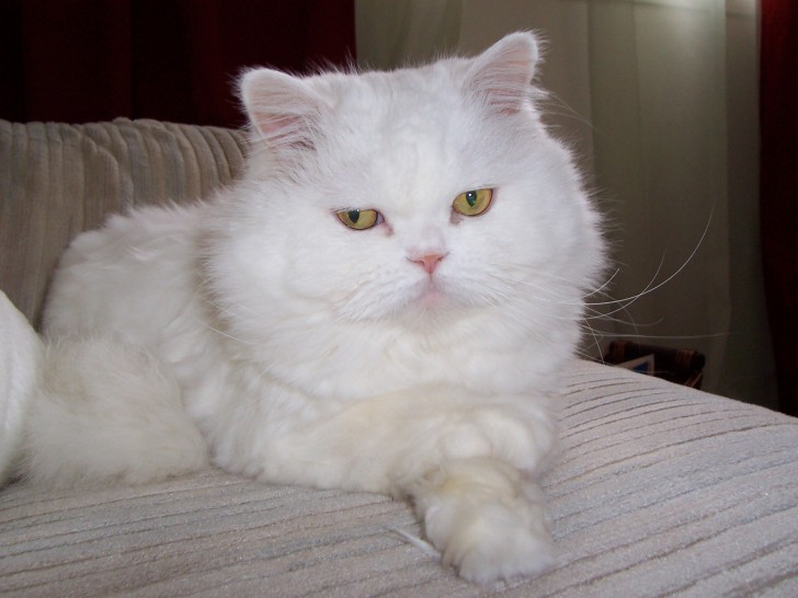 Cat , 5 Good Persian Cat Diet : Persian