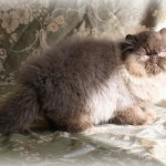 persian , 8 Lovely Persian Cat Breeders In Cat Category