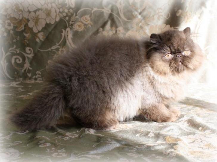Cat , 8 Lovely Persian Cat Breeders : Persian