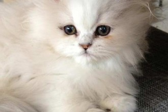 Persians Cats For Sale , 9 Charming Chinchilla Persian Cat In Cat Category