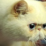 petfinder , 8 Charming Persian Cats San Diego In Cat Category
