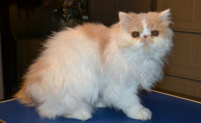 Cat , 9 Good Grooming Persian Cats : Petsmart Grooming
