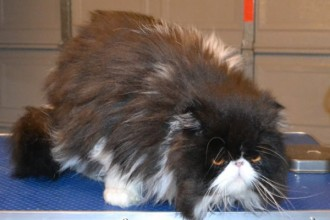 Petsmart Grooming , 9 Good Grooming Persian Cats In Cat Category