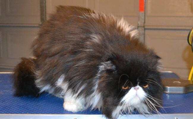 Cat , 9 Good Grooming Persian Cats : Petsmart Grooming