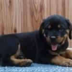 pitbull puppies , 7 Cool Kimbertal Doberman Puppies In Dog Category