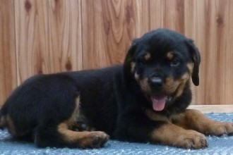 Pitbull Puppies , 7 Cool Kimbertal Doberman Puppies In Dog Category