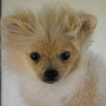 pomeranian puppies , 6 Cool Pomeranian Puppy Uglies In Dog Category