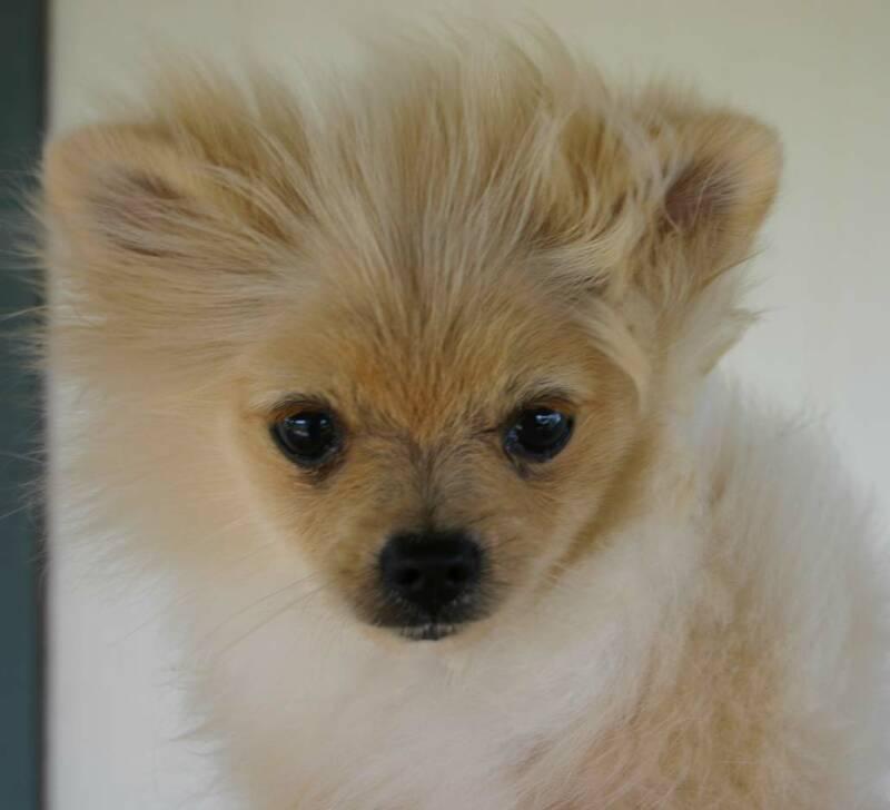 Pomeranian Puppies : 6 Cool Pomeranian Puppy Uglies ...
