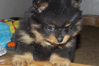 Pomskie Puppies For Sale , 8 Charming Pomskies Puppies For Sale In Dog Category