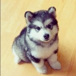 pomsky , 8 Charming Pomskies Puppies For Sale In Dog Category