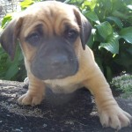 puggle , 7 Cute Puppy Parlor Lisle Il In Dog Category