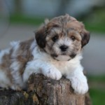 puppies for sale , 8 Cute Shichon Puppies For Sale In Nj In Dog Category