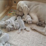 puppies for sale , 4 Cool Weinheimer Puppies For Sale In Dog Category