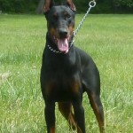 puppies for sale , 7 Cool Kimbertal Doberman Puppies In Dog Category