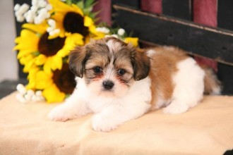 Puppies , 8 Cute Shichon Puppies For Sale In Nj In Dog Category