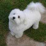 puppy cut , 7 Cute Coton De Tulear Puppy Cut In Dog Category
