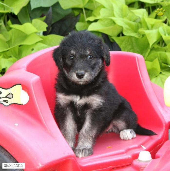 Dog , 7 Cute Peekapoo Puppies For Sale In Pa : Puppy Siberdoodle