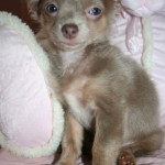 puppy uglies , 6 Cool Pomeranian Puppy Uglies In Dog Category