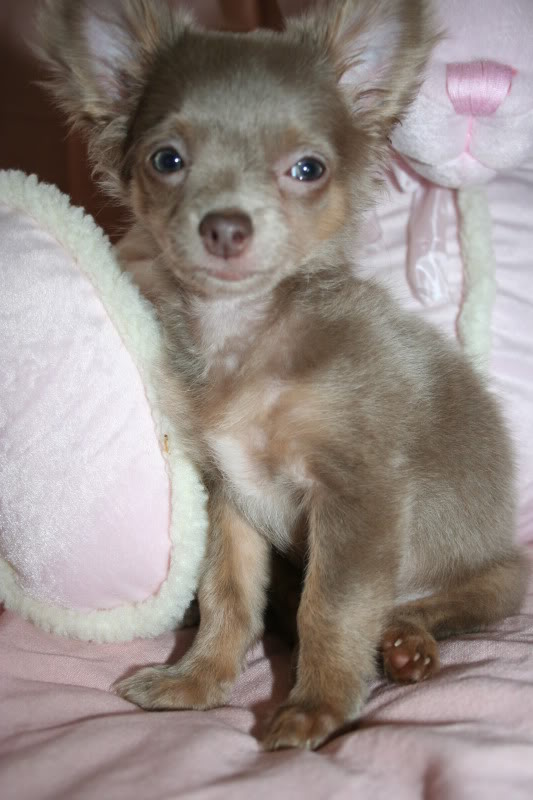Puppy Uglies : 6 Cool Pomeranian Puppy Uglies | Biological ...