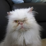 ragdoll kittens , 9 Lovely Persian Cat Eye Problems In Cat Category