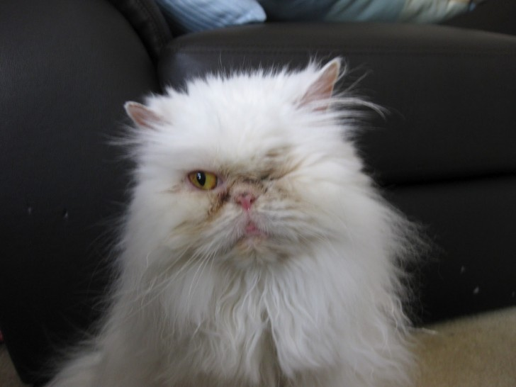 Cat , 9 Lovely Persian Cat Eye Problems : Ragdoll Kittens