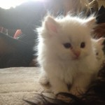 ragdoll x persian kittens , 9 Fabulous Persian Cats Breeders In Cat Category