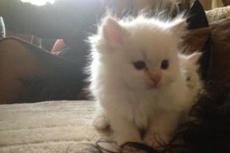 Ragdoll X Persian Kittens , 9 Fabulous Persian Cats Breeders In Cat Category