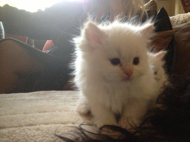 X Persian Kittens Ragdoll X Persian Kitt...