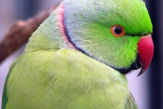 Ringneck , 7 Wonderful African Ringneck Parrot In Birds Category