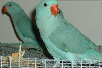 Ringneck Parrot , 7 Wonderful African Ringneck Parrot In Birds Category